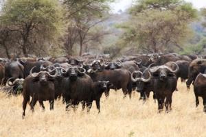 Buffalos - Tanzania