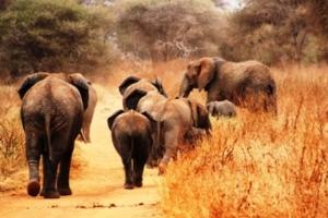 Elephants - Tanzania