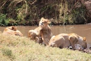 Lions - Tanzania