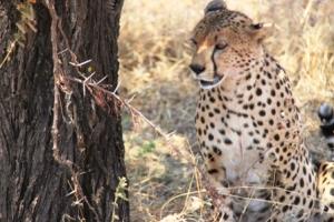 Cheetah - Tanzania