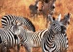 Tanzanian wildlife: zebras