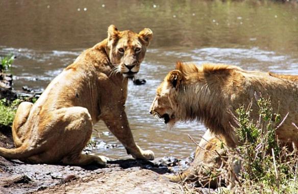 Lions in Ngorongoro, Tanzania