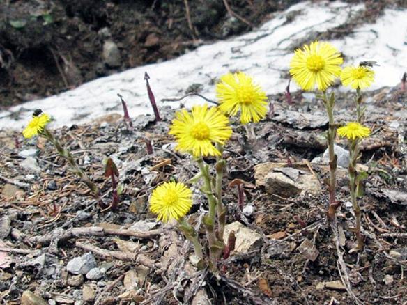 Alpinen flowers