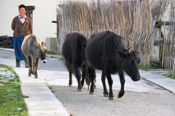Yaks in the Ringha village