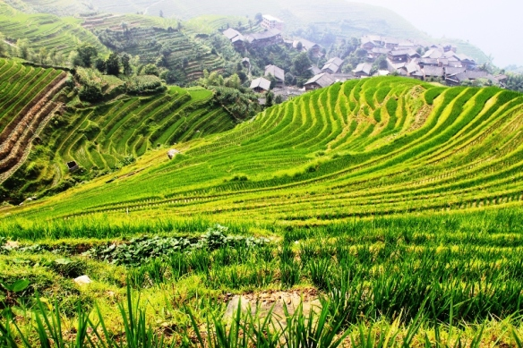 Longji Terranced Fields